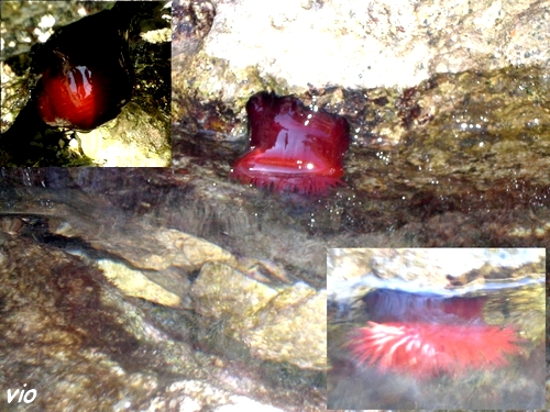 Anémones de mer Croates