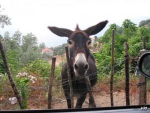 L'âne HîHâN ... à Santa Lucia di Taliano (Corse du sud)