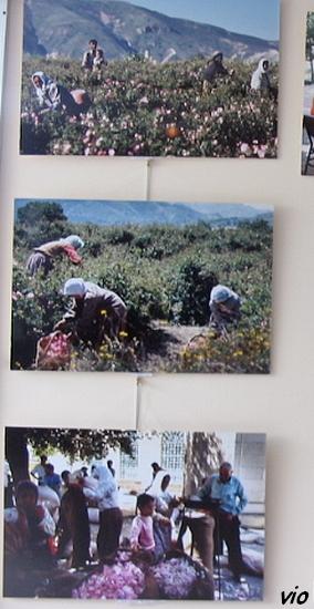 Photo : A. Thévenard / ramassage dans les champs de roses
